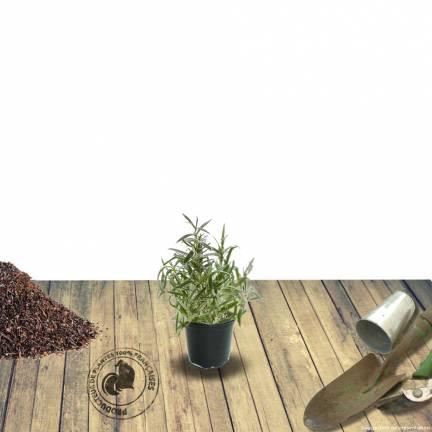 Agastache rugosa f. albiflora