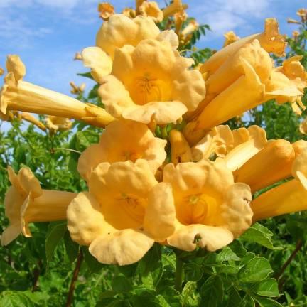 Bignone radicans Yellow Trumpet