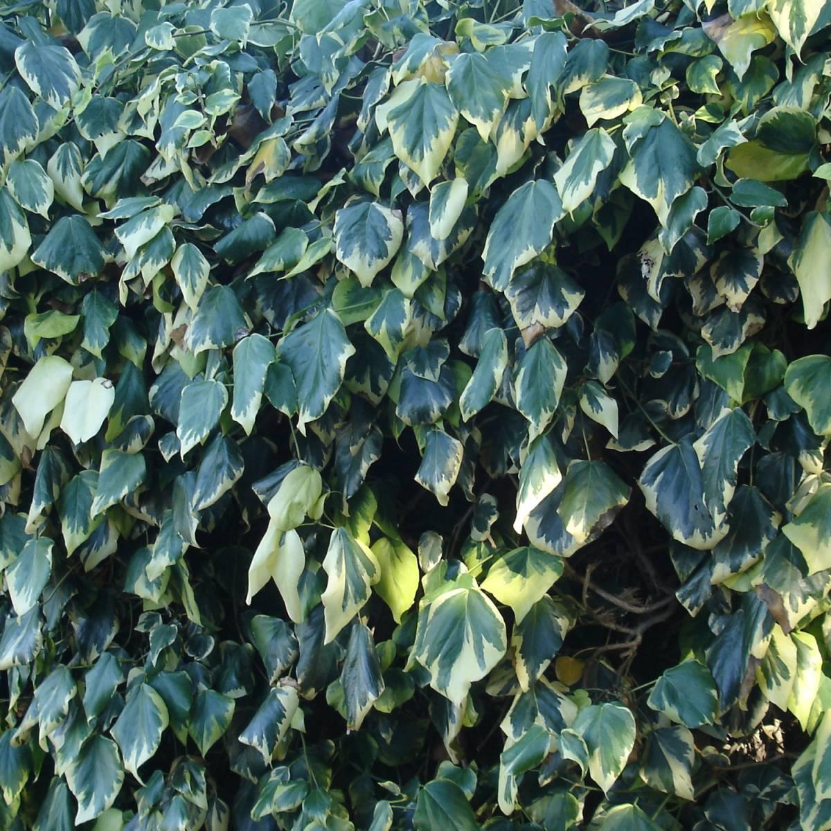 plantes grimpantes a croissance rapide plantes grimpantes a croissance rapide wisteria est une. Black Bedroom Furniture Sets. Home Design Ideas