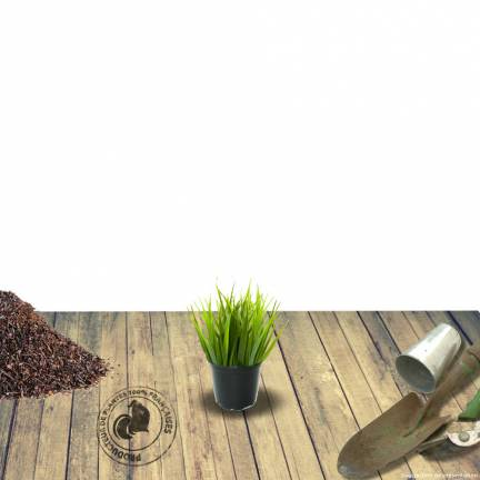 Herbe aux écouvillons alopecuroides Japonicum