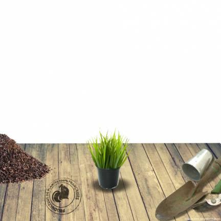 Herbe aux écouvillons alopecuroides Géant d'Argoat