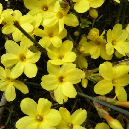 Sp cialiste des plantes de jardin - Jasmin d hiver blanc ...