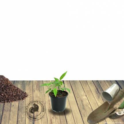 Persicaire amplexicaulis Alba