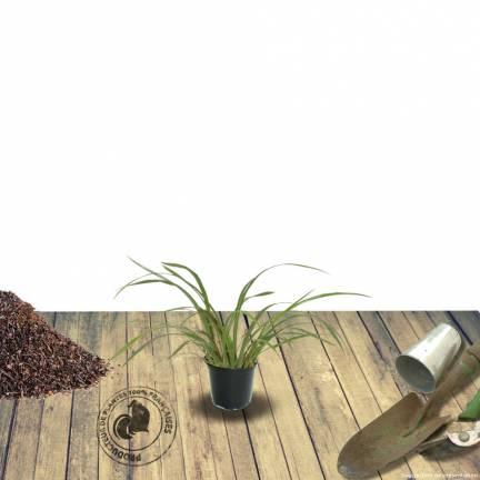 Ail d'ornement senescens