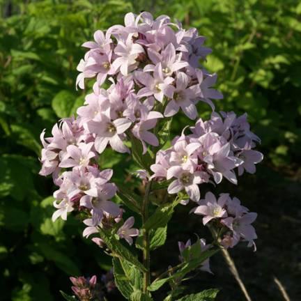 Campanule à fleurs laiteuses Loddon Anna