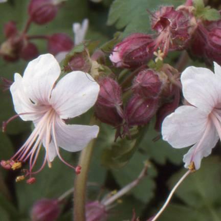 Géranium à grosses racines macrorrhizum Spessart