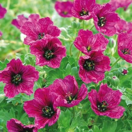 Géranium vivace à feuilles cendrées cinereum Purple Pillow®