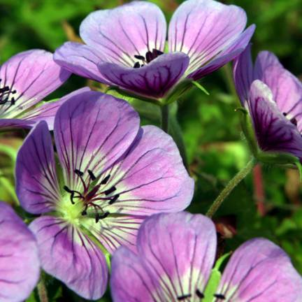 Géranium vivace Sweet Heidy®