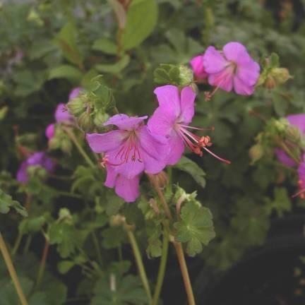 Géranium vivace x cantabrigiense Karmina