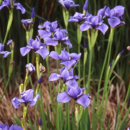 Iris de Sibérie Pirouette