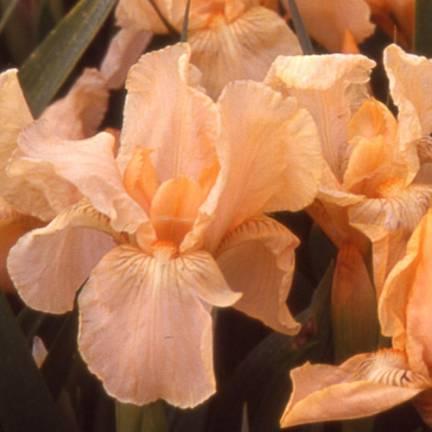 Iris nain lilliput Pink Cushion