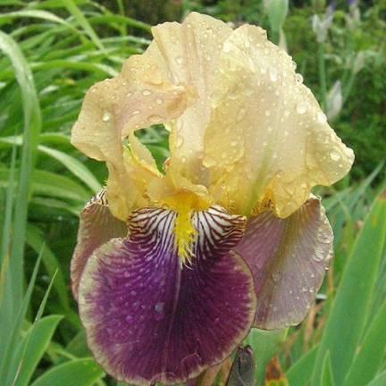 Iris des jardins Nibelungen