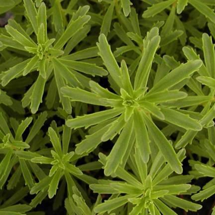 Orpin kamtschaticum var. middendorffianum