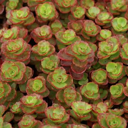 Orpin spurium Schorbuser Blüt