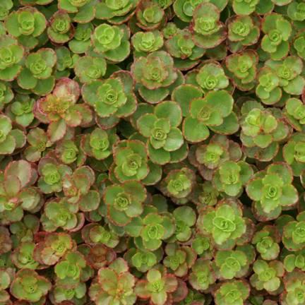 Orpin spurium Atropurpureum