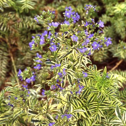 Polémoine bleue caeruleum Brise d'Anjou® Blanjou