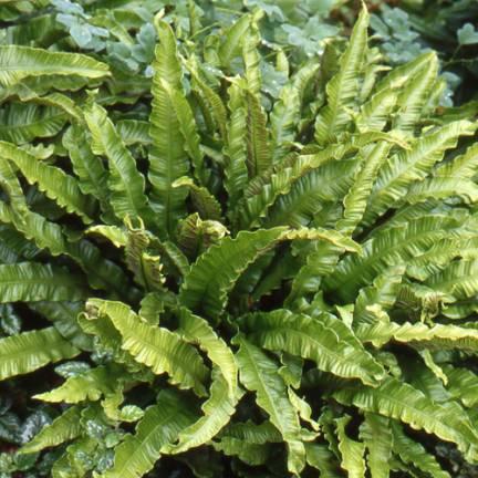Fougère scolopendrium var. scolopendrium Cristatum