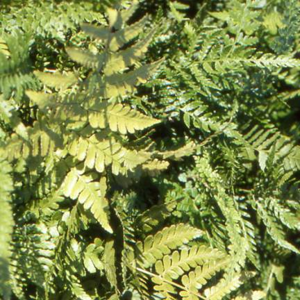 Fougère ornementale erythrosora Prolifica