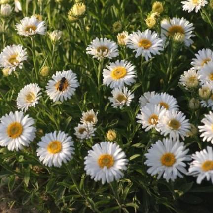 Aster de printemps Albus