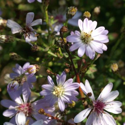 Aster d'automne Ideal