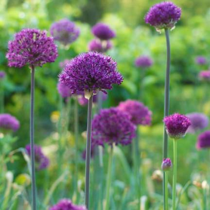 Ail d'ornement Purple Sensation
