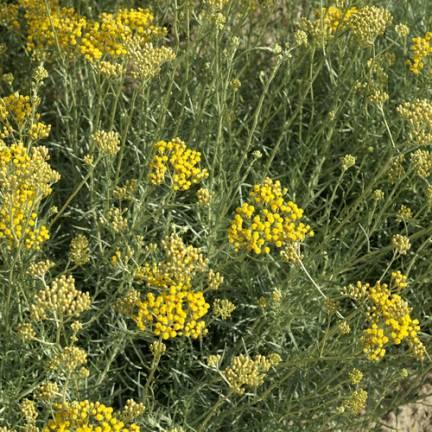 Immortelle italicum ssp. serotinum