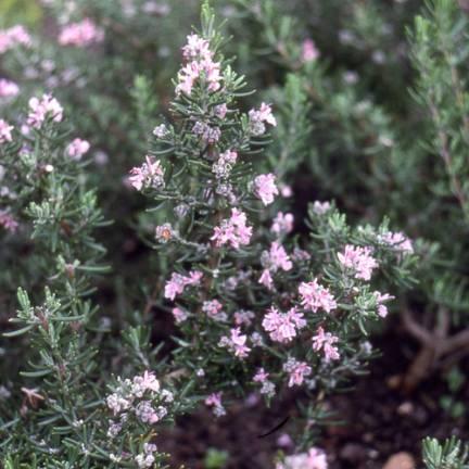 Romarin officinalis Majorca Pink