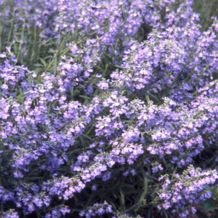 Sauge bleue Grandiflora
