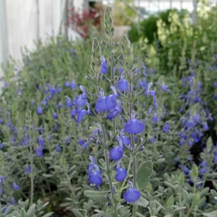 Sauge arbustive bleue