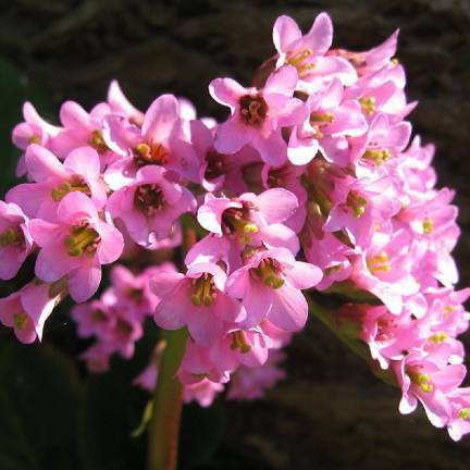 Bergénia purpurascens
