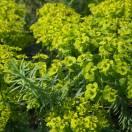 Euphorbe de Sibérie seguieriana ssp. niciciana