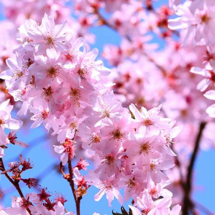 Cerisier du Japon Amanogawa