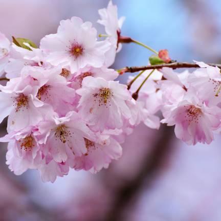 Cerisier du Japon Kiku Shidare Zakura