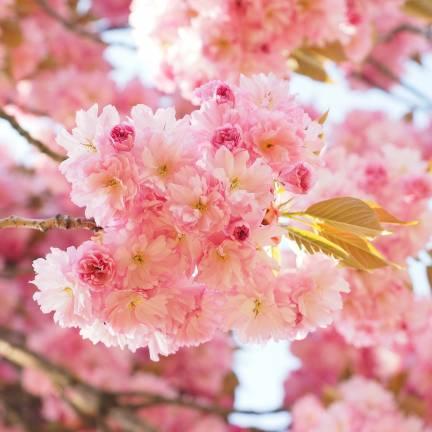 Cerisier du Japon New Red