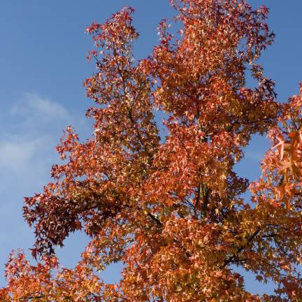 Chêne Crimson Spire