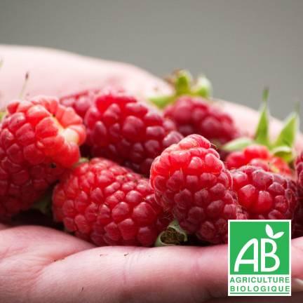 Mûre fruticosus Buckingham Tayberry