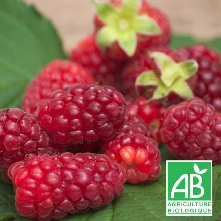 Mûre fruticosus Tayberry