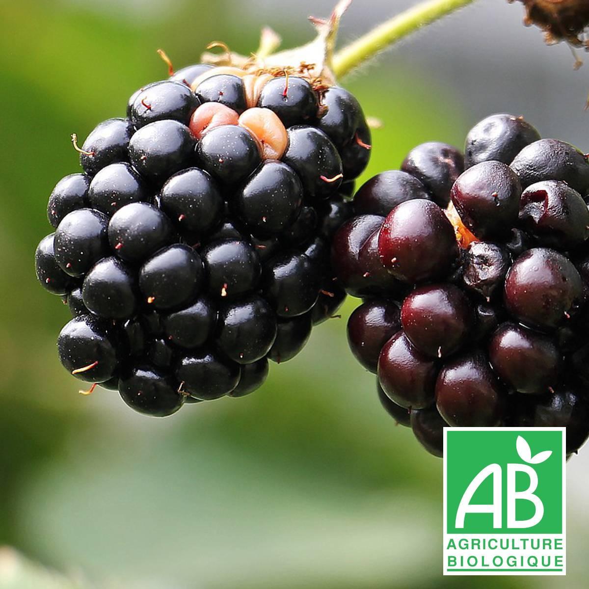 Rubus fruticosus /'Black Satin' Ronce grimpante Murier autofertile