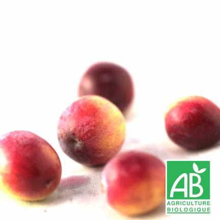 Canneberge à gros fruits, Airelles, Cranberry macrocarpon Early Black