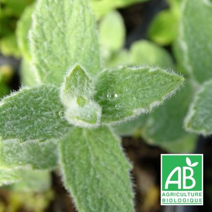 Menthe à feuilles de buddleia BIO