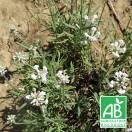 Lavande angustifolia Alba BIO