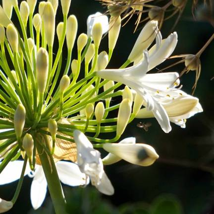 Agapanthe africanus Blanche
