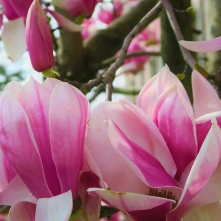 Magnolia x Heaven Scent