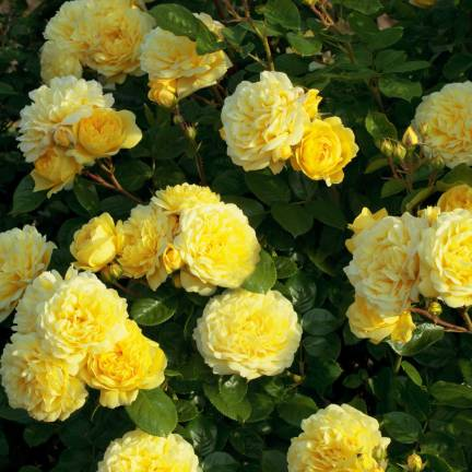 Rosier arbustif Anny Duperey® 'Meitongas'