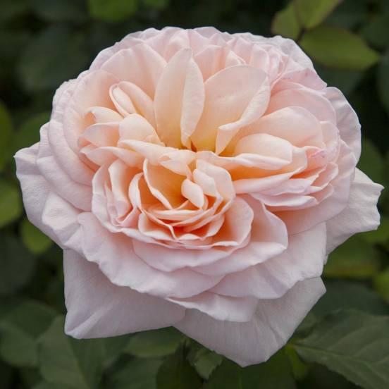 Rosier arbustif Belle Romantica® 'Meigapencey'