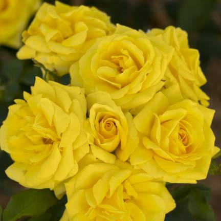 Rosier arbustif Carte D'Or® 'Meidresia'