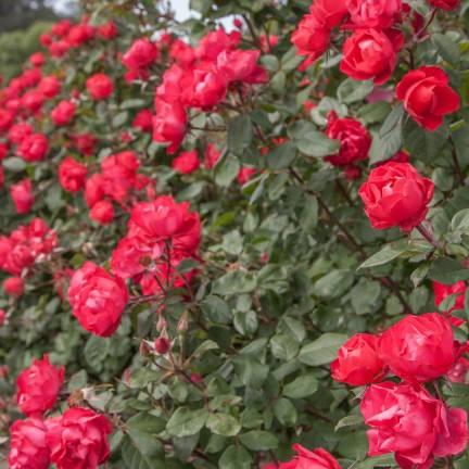 Rosier arbustif Cherry Bonica® 'Meipeporia'