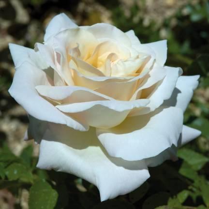 Rosier arbustif Jardins De Bagatelle® 'Meimafris'