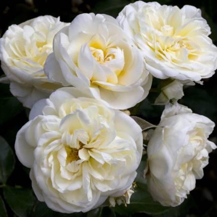 Rosier arbustif Lady Romantica® 'Meiperette'