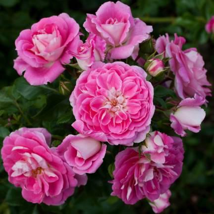 Rosier arbustif Lovely Pink® 'Meinoplius'